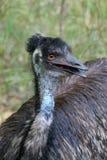 Emu Image libre de droits