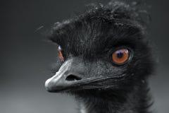 Emu Foto de Stock Royalty Free