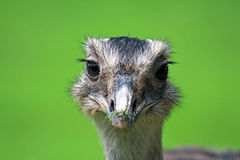 Emu Foto de Stock