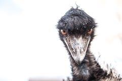 emu Royaltyfria Foton