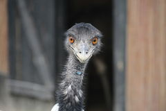 Free Emu Stock Photography - 76934462