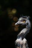 Emu Royalty Free Stock Image