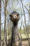 Emu. An emu looking into the camera Royalty Free Stock Images
