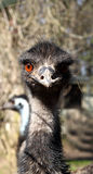 Emu. Portrait of a Emu bird with red eyes stock images
