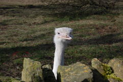 Emu Lizenzfreie Stockfotografie