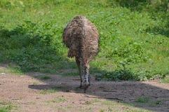 Emu Stockfotografie