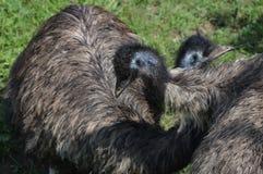 Emu Lizenzfreies Stockfoto