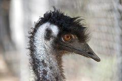Emu Immagini Stock Libere da Diritti