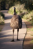 Emu Lizenzfreie Stockfotos