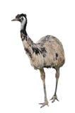 Emu aislado en el fondo blanco fotografía de archivo