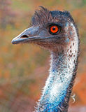 Emu-Auge in Adelaide South Australia Lizenzfreies Stockfoto