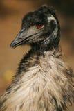 Emu, austalian bird Stock Image