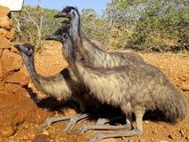 Emu, Australia Zdjęcia Stock