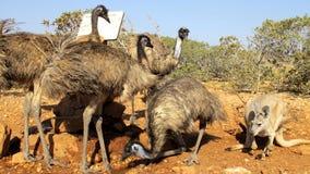 Emu, Australia Obraz Stock