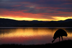 Emu in Australia. Australian emu against a vibrant sunset over the bay in Tasmania, Australia Stock Photography