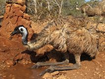 Emu, australia. Beautiful emu in the outback,  australia Stock Images