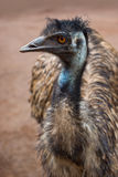 Emu australian bird Stock Photo