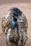 Emu australian bird Stock Photography