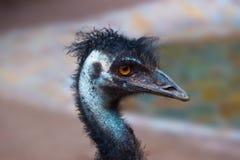 Emu australian bird Stock Image