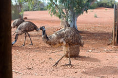 Emu in Australian Desert Royalty Free Stock Images