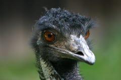 Emu australiano imagens de stock