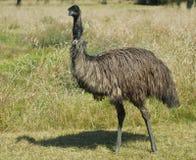Emu australiano que se coloca alto Imágenes de archivo libres de regalías