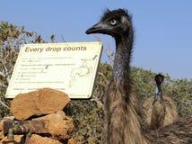 Emu, Australien Stockfoto