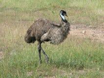 Emu in the australien steppe. In East, Australia, a great bird and run bird stock photo
