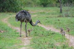 Emu with Babies Crossing the Road in Pantanal, Brazil royalty free stock photography