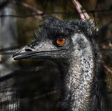 Emu`s head 1 royalty free stock images