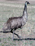 Emu bird Stock Photography