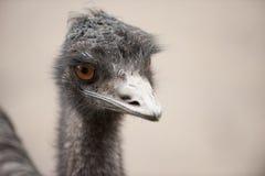 Emu bird close-up. A close-up of a funny looking emu bird Royalty Free Stock Photo