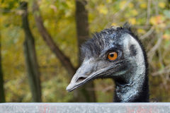 close up of black and gray Emu face and head orang Stock Image