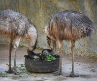 Emu Bird. In the zoo royalty free stock images