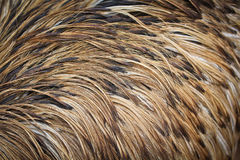 Emu bird feather Royalty Free Stock Photo