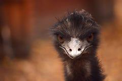 Emu bird head closeup Stock Image