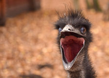 Emu bird head. Emu bird yawn head close up at the zoo Royalty Free Stock Images