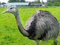 Emu Bird Stock Images