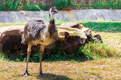 Emu bird. Royalty Free Stock Photo