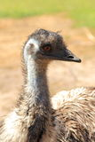 Emu bird Stock Image