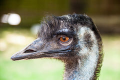 Emu bird Royalty Free Stock Photo