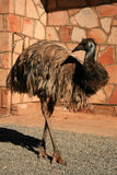 Emu Bird - The Red Centre, Australia Royalty Free Stock Photo