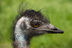 Emu in a bird reserve, England Royalty Free Stock Photo
