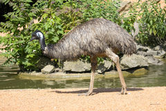 Emu bird by the riverbank Royalty Free Stock Photo