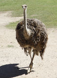 Emu Royalty Free Stock Image