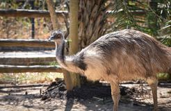 Emu. Bird in the zoo royalty free stock image