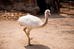 Emu birds. A white emu birds in zoo Royalty Free Stock Photos