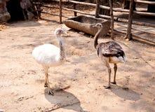 Emu birds. A white emu birds in zoo Stock Photo