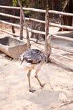 Emu birds. A white emu birds in zoo Stock Images