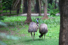 Emu birds Royalty Free Stock Image
